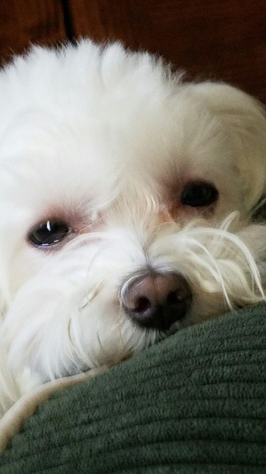 Quincy Big Dog Little Dog Coton De Tulear Dogs Maltese Dogs