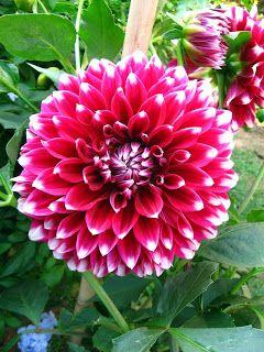 Colours Of Bengal Dahlia Flower Flowers Colours