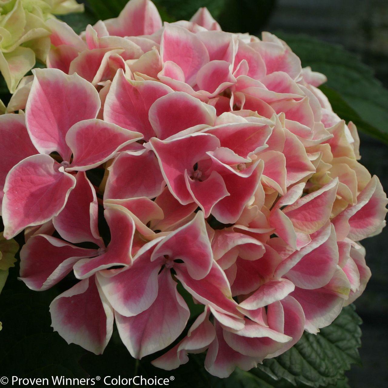 Pink Edgy Hearts Hydrangea Variegated Flower Hydrangea Macrophylla Hydrangea Flower Planting Hydrangeas