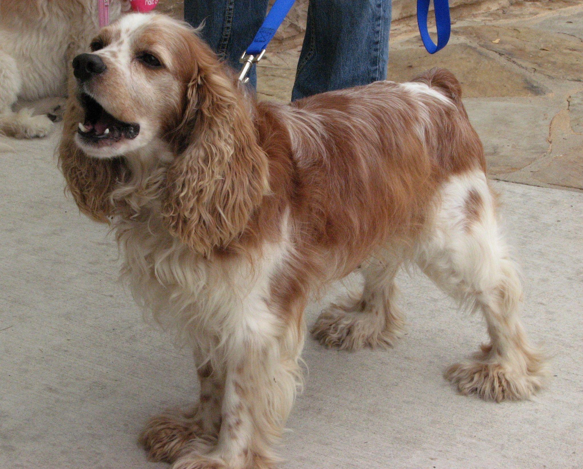 Shorty An Adoptable Cocker Spaniel In Austin Tx Www Austincockerrescue Org With Images Cocker Spaniel Dog Adoption Spaniel