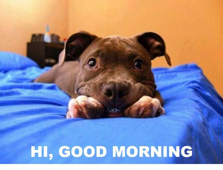 Good Morning Dog Meme Google Search Funny Animals Smiling Animals Pitbulls