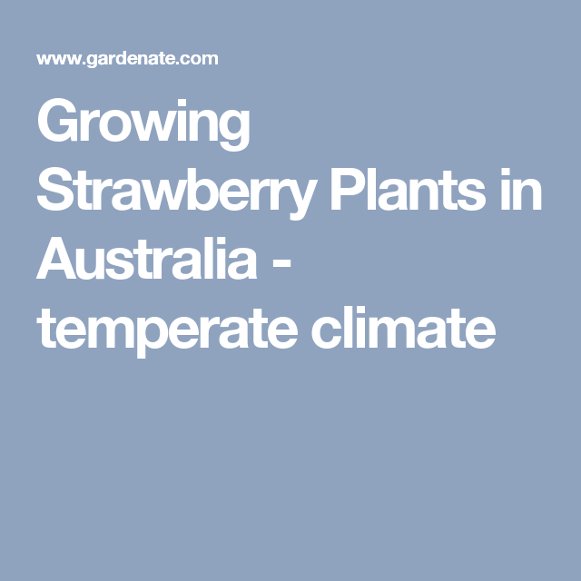 Growing Strawberry Plants in Australia - temperate climate