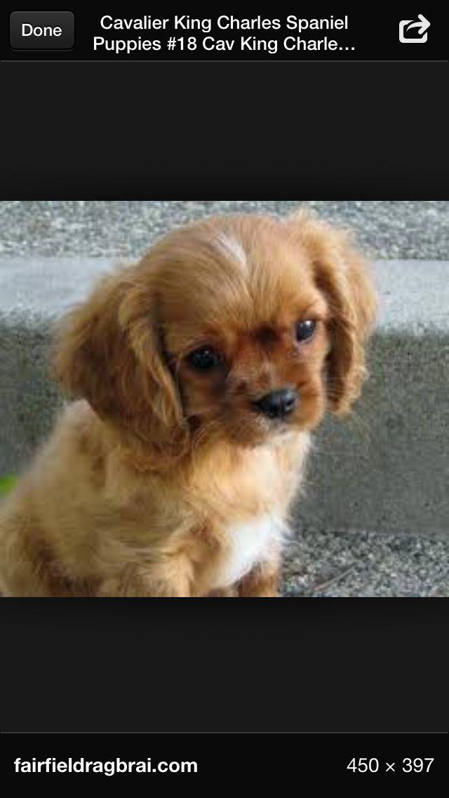 Top Charles Spaniel Brown Adorable Dog - a053db71d8d5c1a978491dc2c870cd4a  Graphic_926239  .jpg