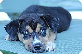 55 Beagle Husky Mix Price In 2020 Husky Mix Siberian Husky Mix Siberian Husky