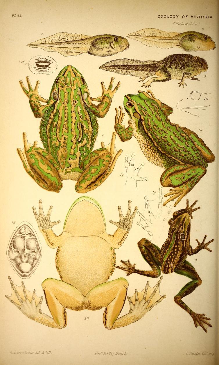 v.1(1885) - Natural history of Victoria : - Biodiversity Heritage ...