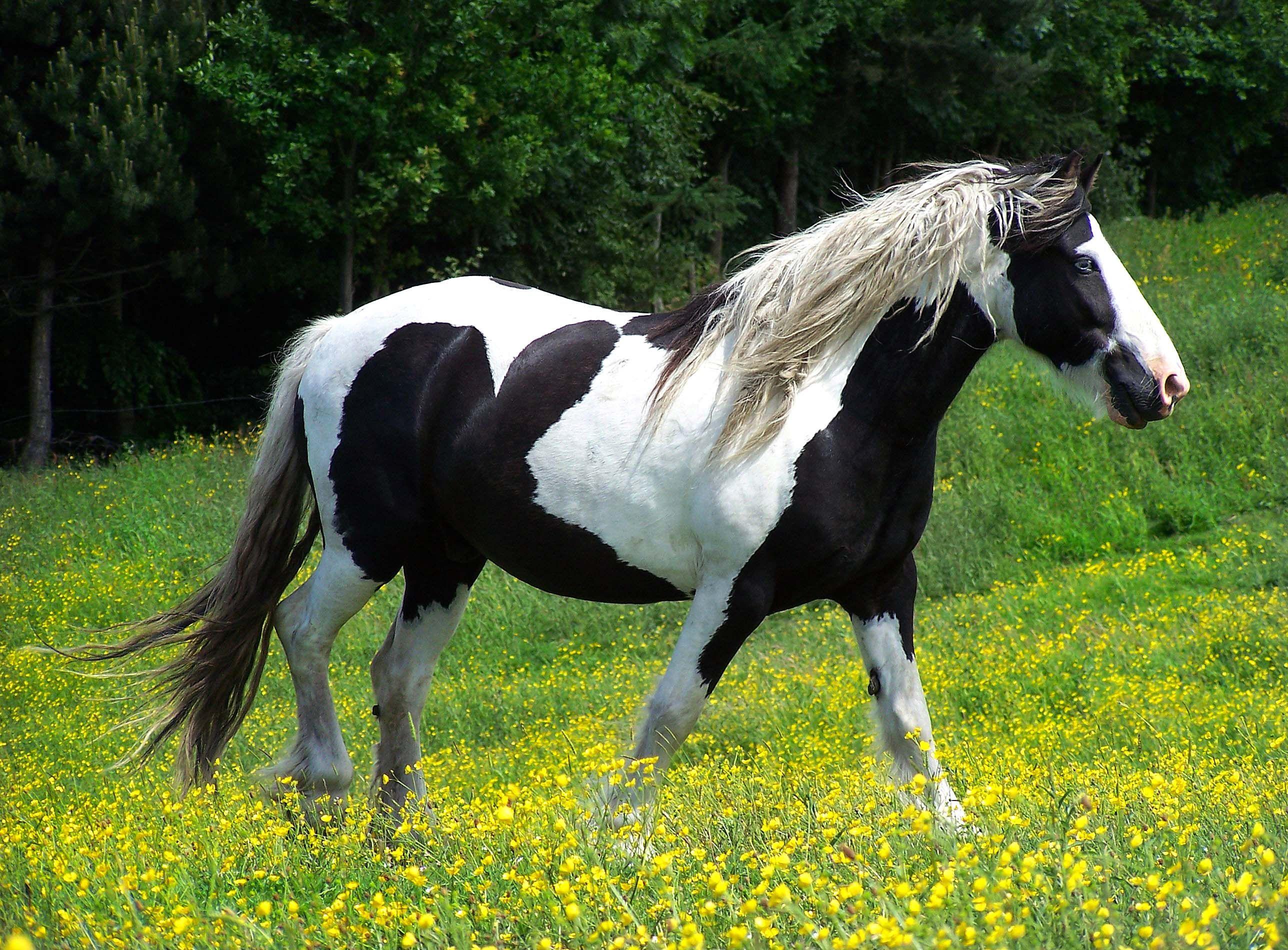 black and white horse | Beautiful horses, Horses ...