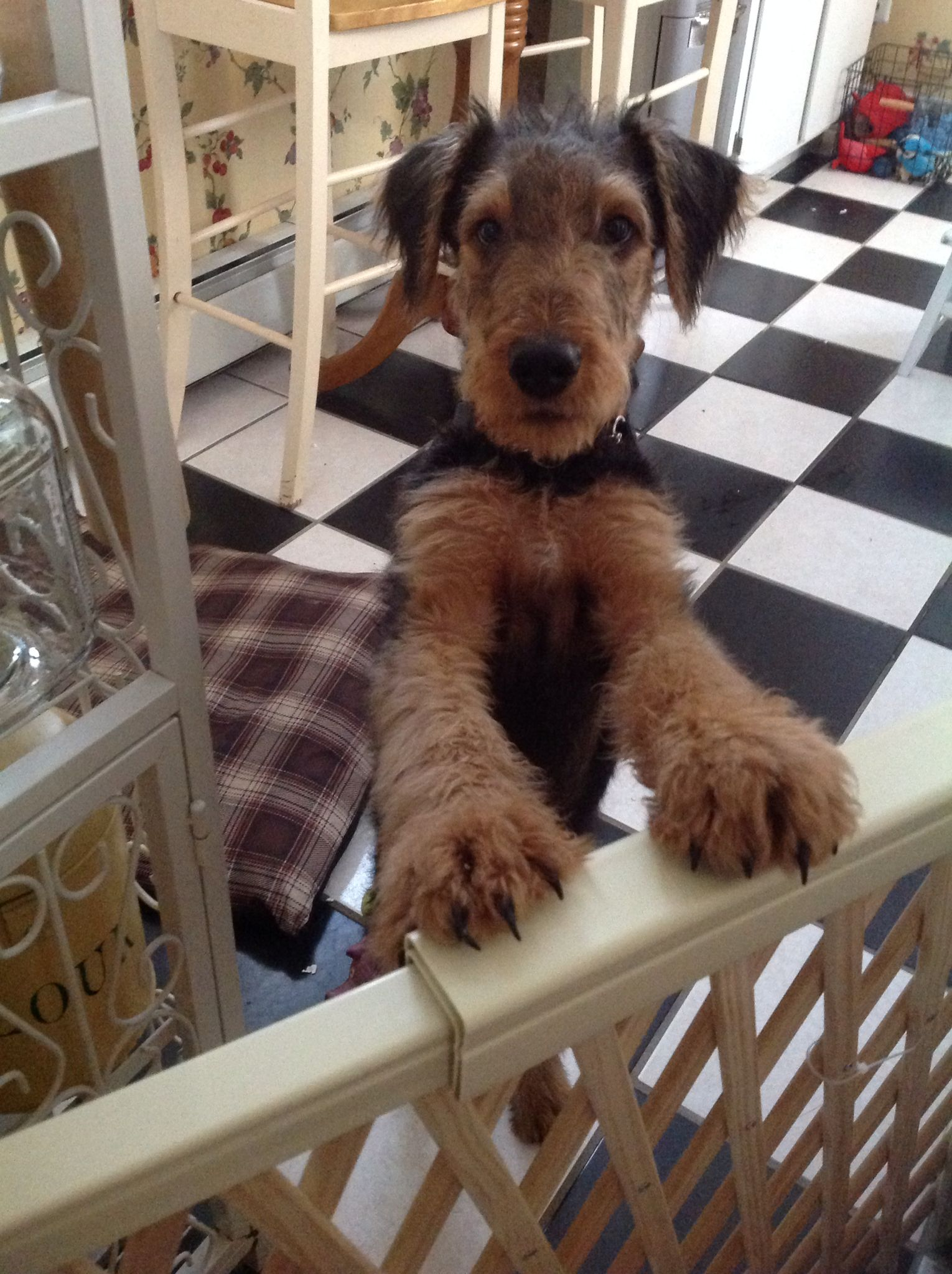 My Big Feet Atticus Airedale Airedale Dogs Fox Terrier Dog Rules