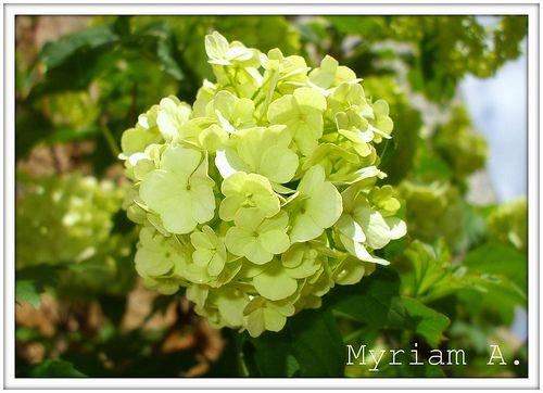 hortensias color verde