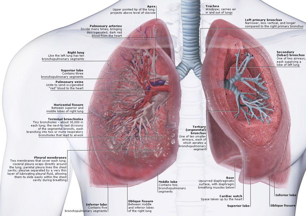 Human Lung Anatomy In Detail Anatomynote Anatomy Note