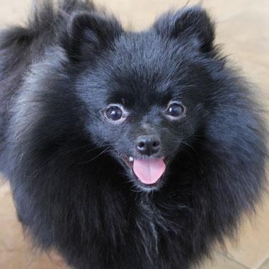 Adopt Raven On Pomeranian Cute Dogs Puppy Mills