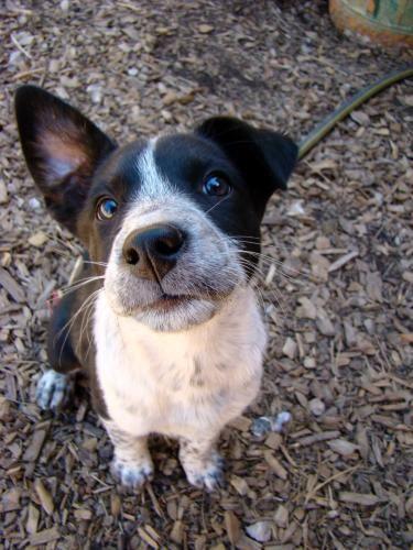 Adopt Lovie Adopted 6 30 13 On Australian Cattle Dog Animals