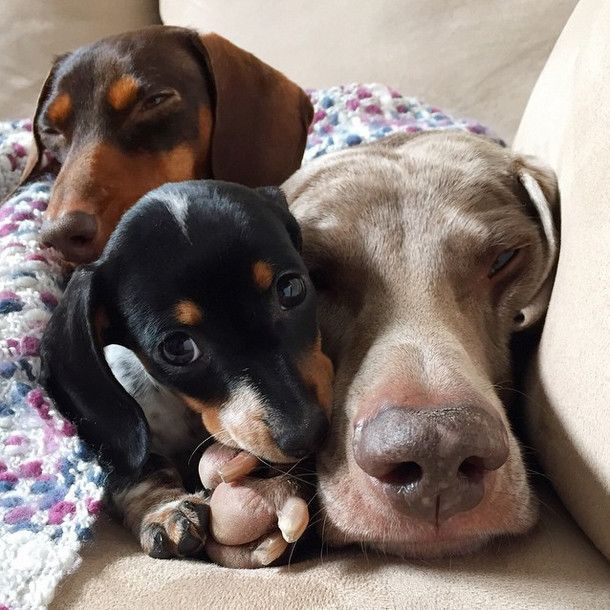 Doxies to the Rescue - a very touching story http://ift.tt/2sPLReV