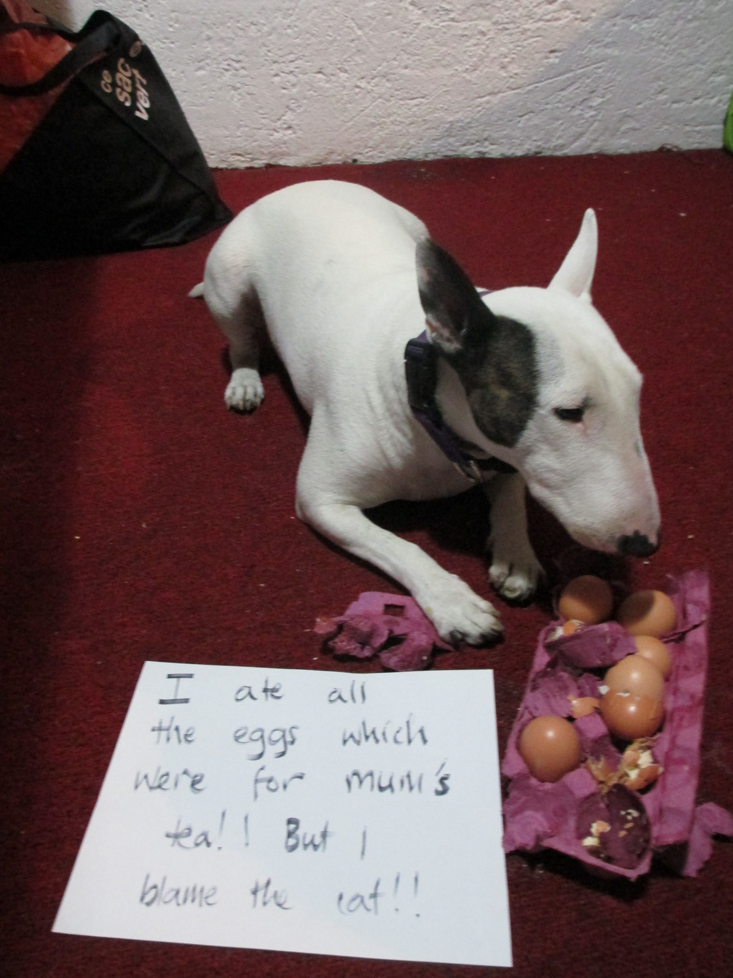 Oh Bull Terriers If I Had One It Could Eat Eggs Every Day If It