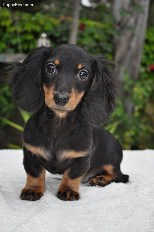 Black And Tan Long Hair Doxie Pup With Images Long Haired