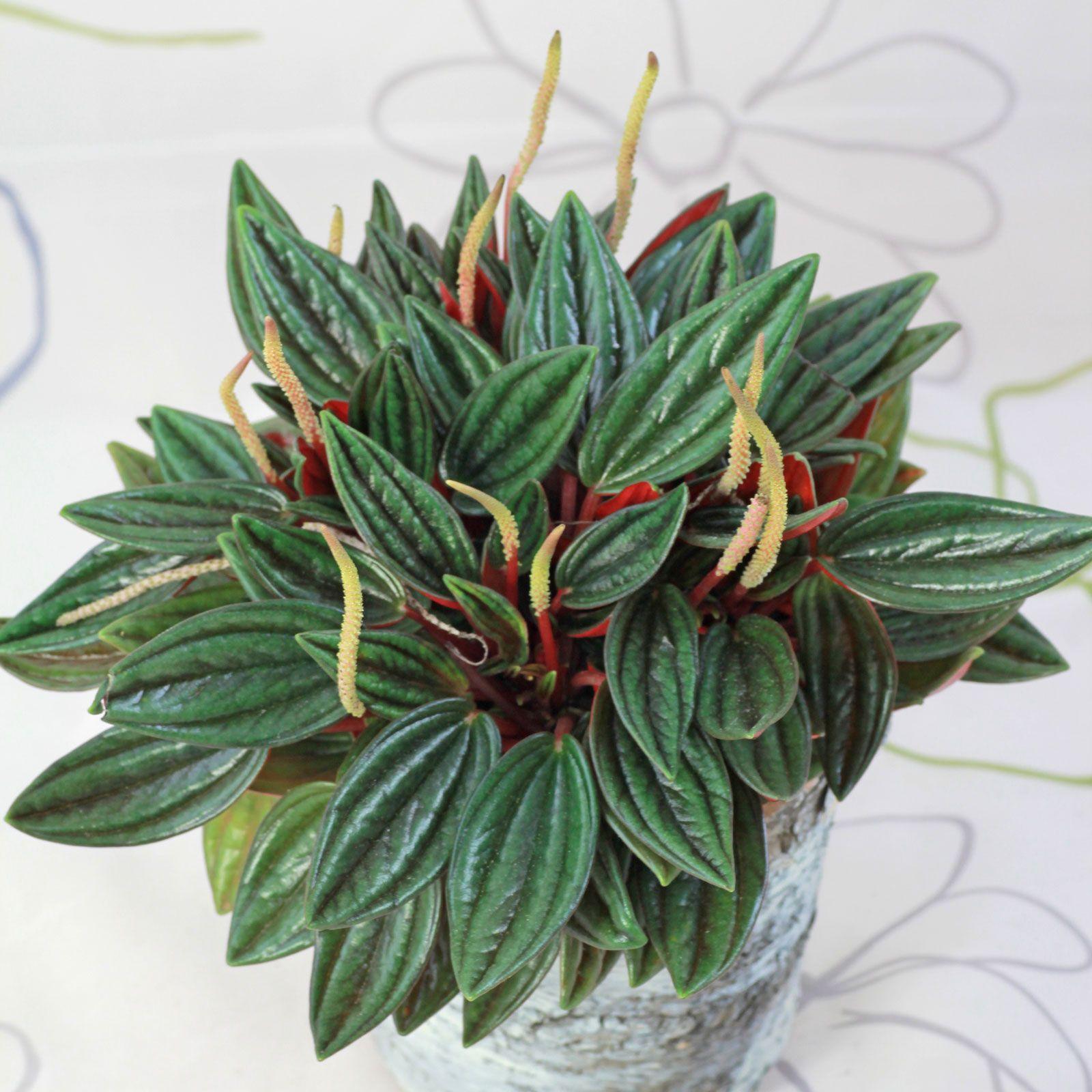 Peperomia Caperata Pflanzen Staudengarten Kubelpflanzen
