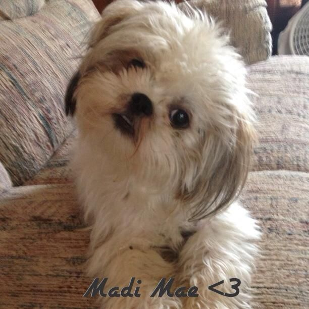 Madi Mae Dog Friends Shih Tzu Shih Tzu Dog