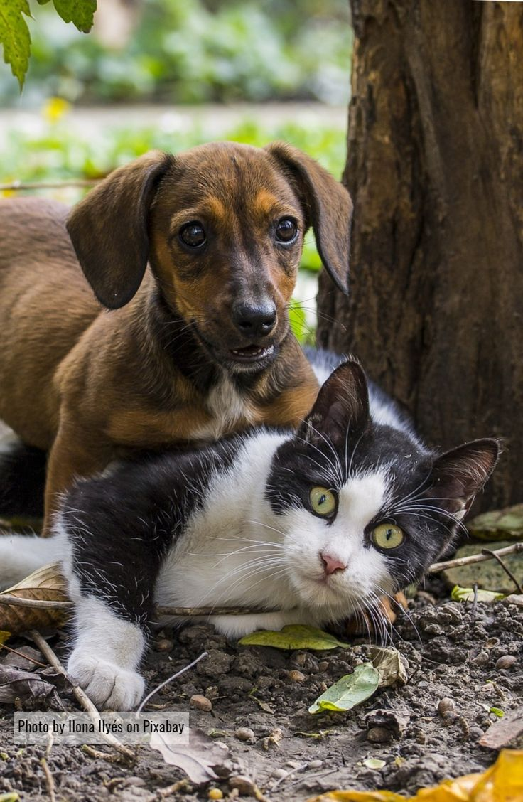 Are Dachshunds Good With Cats Introducing puppy to cat