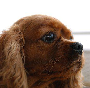 Spaniel. Tibetan spaniel. Dog. dogs. Puppy. Puppies. Small