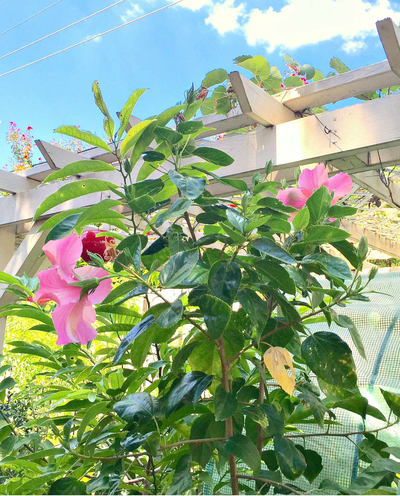 Tropical Hibiscus Plant Single Pink Seminole The Flowers Of