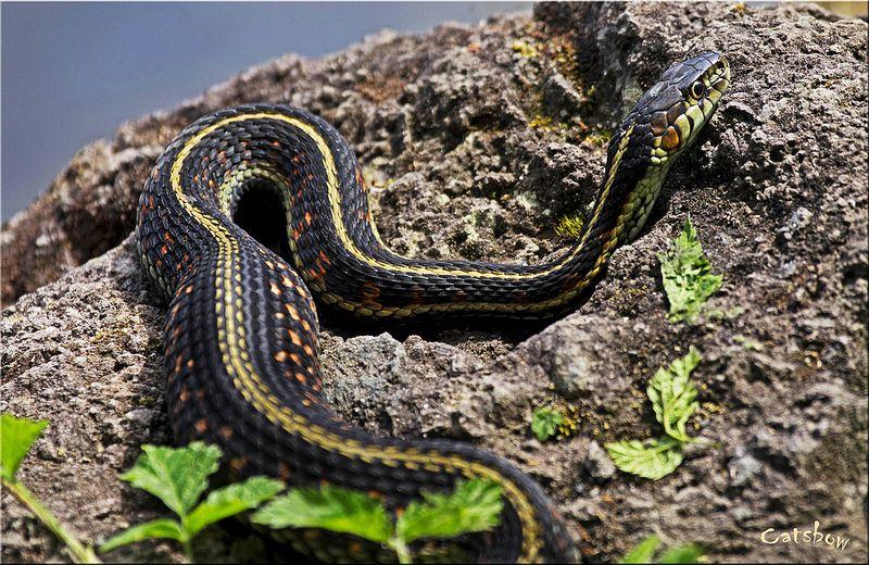Pregnant Garter Snake Snake Amphibians Animals