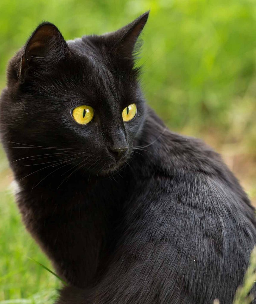 Bombay Cat Size Guide How Big Do They Grow Cat Breeds Cats Bombay Cat