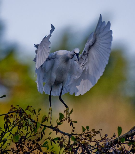Little-Egret