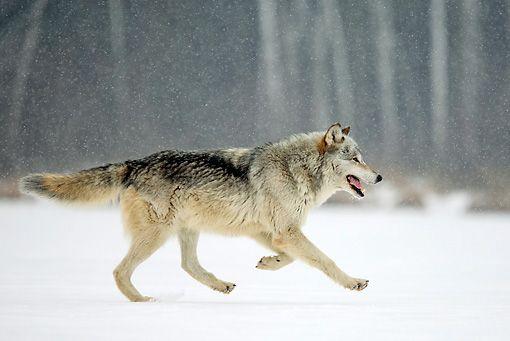 Gray Wolf Running Things I Love Wolf