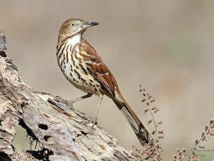 Brown Thrasher Very Large Bird That Resembles A Wood Thrush But