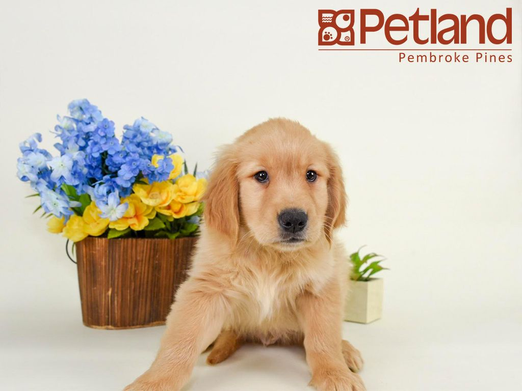 The Key To Happiness Is A Golden Retriever Puppy Find Your