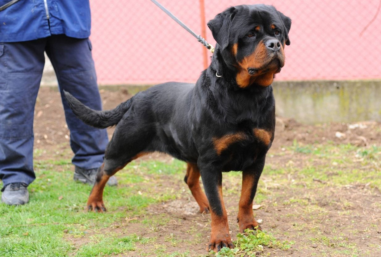 Grand Champion Zinga Von Ivan Hause With Images Rottweiler