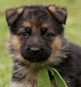 Awww I Want One Right Now I Dont Want To Wait German Shepherd