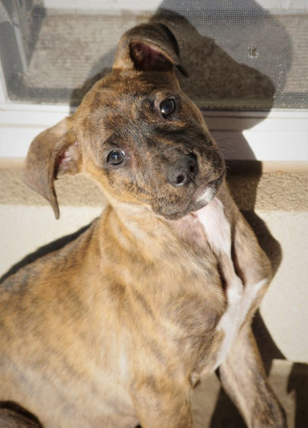 Windsor Adoptable Dog Puppy Male Mastiff Boxer Mix Urgent