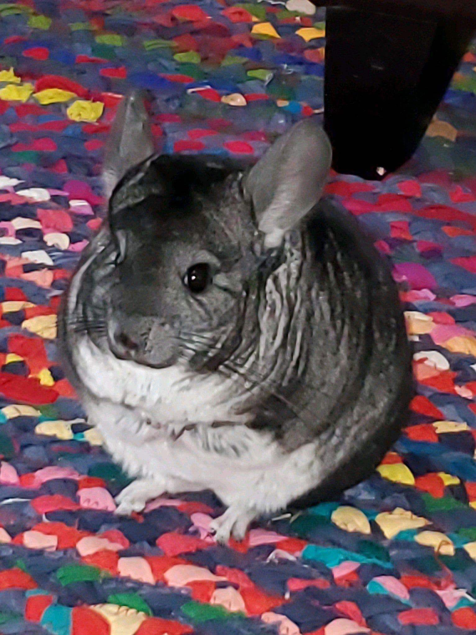 Chinchillas Of Reddit Meet Radnarok Www Chinchillastories Com Pets Animals Mammals Rodents Chinchilla In 2020 Cute Little Animals Pet Owners Animals