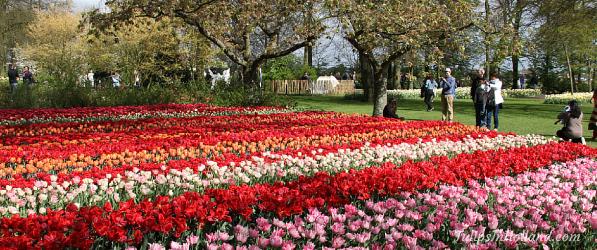 Best time to visit keukenhof seasons tulip and holland for What season are tulips
