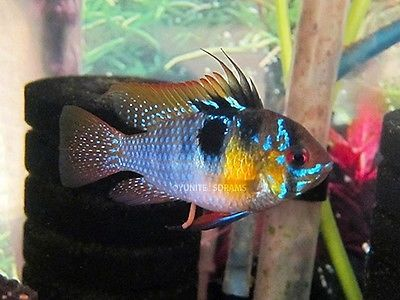Electronics Cars Fashion Collectibles Coupons And More Ebay Cichlids Fish Freshwater Fish