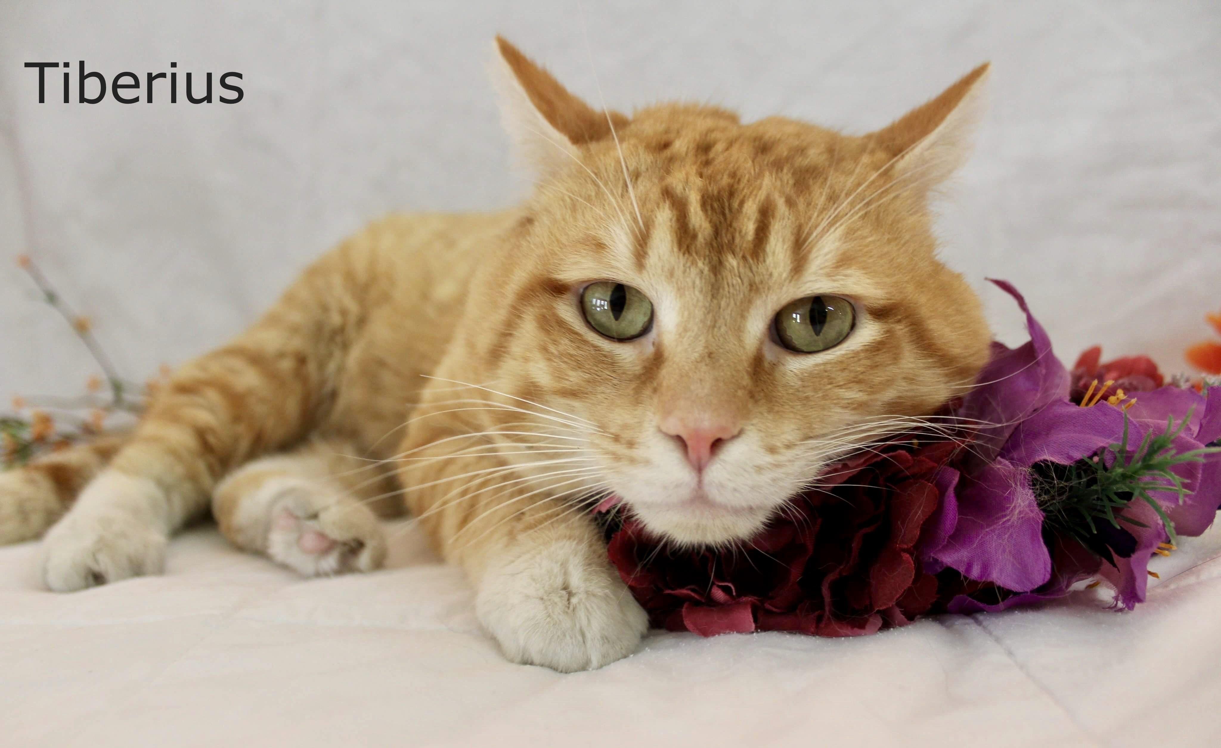 Adopt tiberius on petfinder cat adoption kitty cats