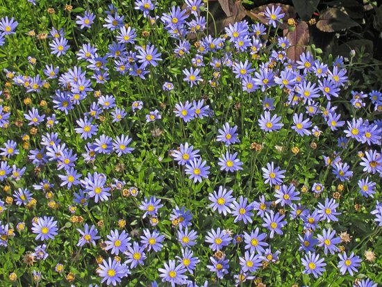 Blauviolette Kapaster