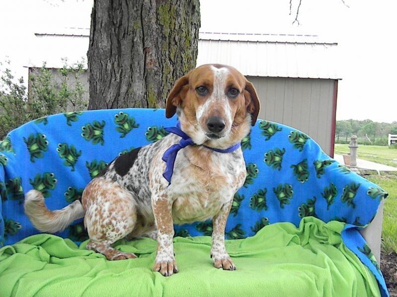 Adopt crickett on adoptable beagle a dogs prayer