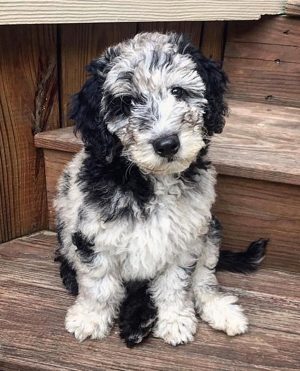 The Aussiedoodle Is The Superclever Hybrid Produced By Crossing The Poodle With The Australian Shepherd Both Parent Breeds In 2020 Pretty Dogs Aussiedoodle Dog Breeds