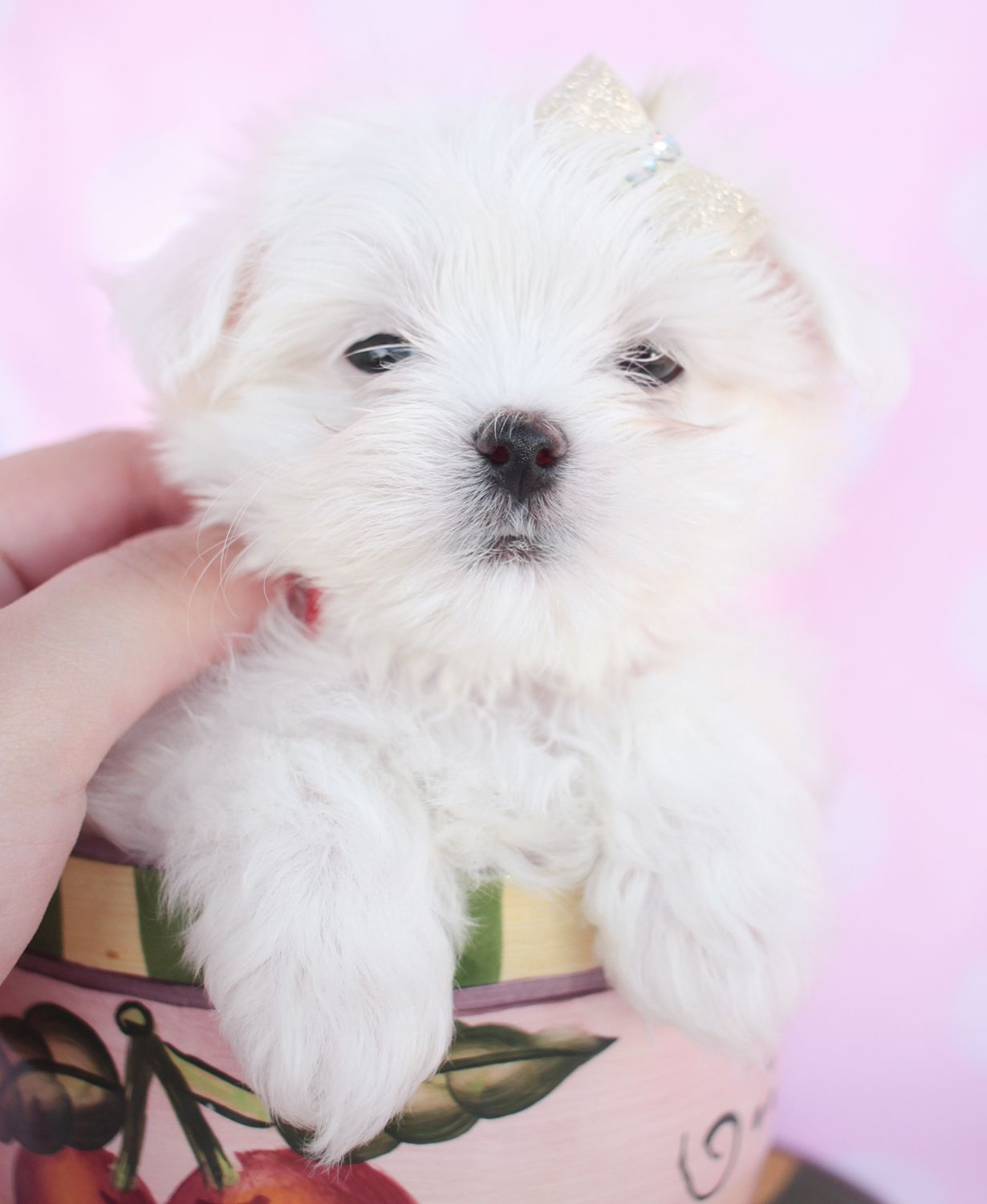 Maltese Puppies For Sale At Teacups Puppies Teacup Puppies