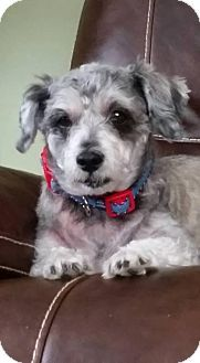 Rochester Ny Rescued Treasures Pet Adoptions Standard Schnauzer Meet Riley A Dog For Adoption Http Www Dog Adoption Kitten Adoption Standard Schnauzer