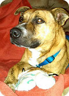 Glastonbury, CT Terrier (Unknown Type, Medium)/Boxer Mix