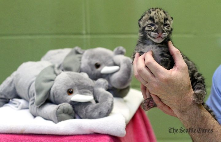 Friday, March 23: Two-week old clouded leopard cubs at Point Defiance Zoo. (Photos by Alan Berner/The Seattle Times)