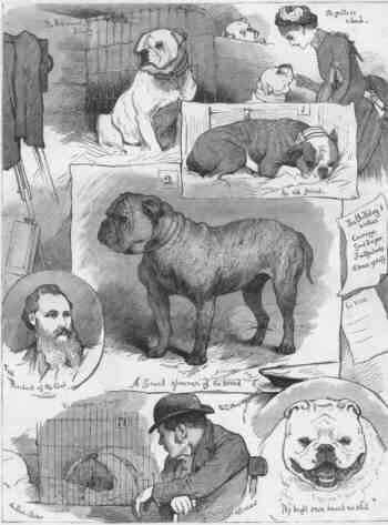 English Bulldog History Bulls Beautiful Dog Breeds Bully Dog