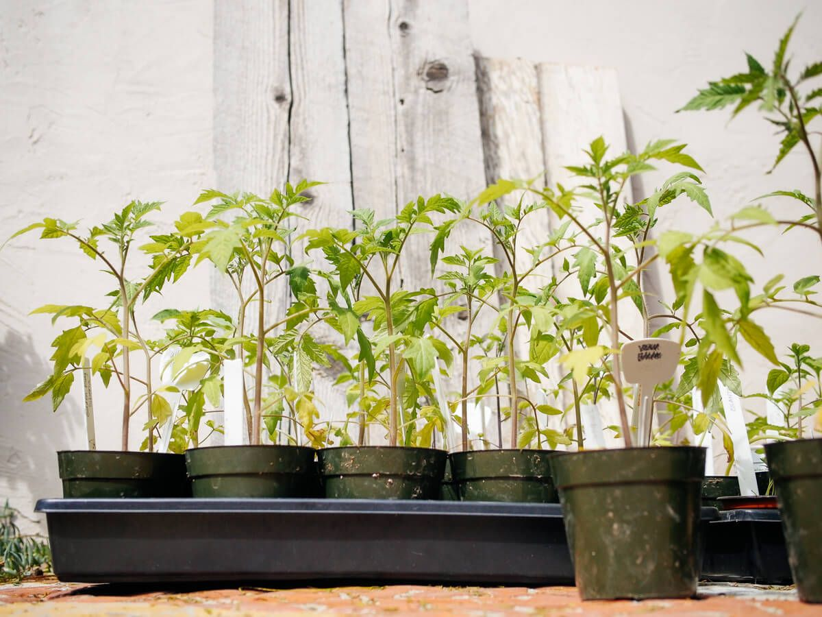 Grow Bigger and Better Tomatoes This Summer | Garden