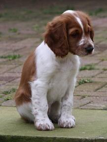 Welsh Springer Spaniel Puppy Spaniel Puppies Springer Spaniel Puppies Welsh Springer Spaniel