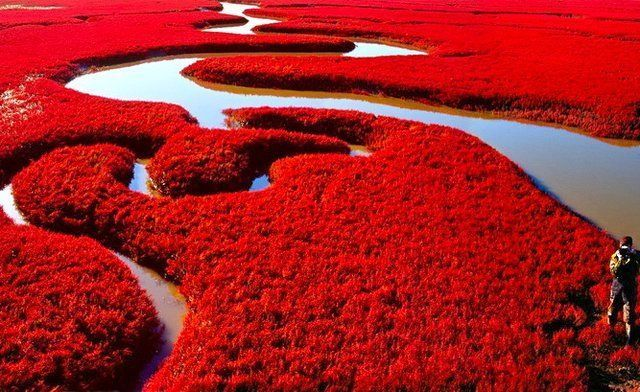 Located in the Liaohe River Delta in northeastern China, Red Beach is a protected reserve that attracts a lot of attention in the early fall, when its grass collectively blushes. The crimson flora is a variety of seepweed, a type of salt-tolerant grass, that turns red as it matures. It's most dramatic in September, when most tourists come to experience the organic Technicolor.: