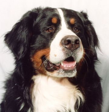 Bernese Mountain Dog With Images Bernese Mountain Dog Burnese Mountain Dog Bernese Mountain