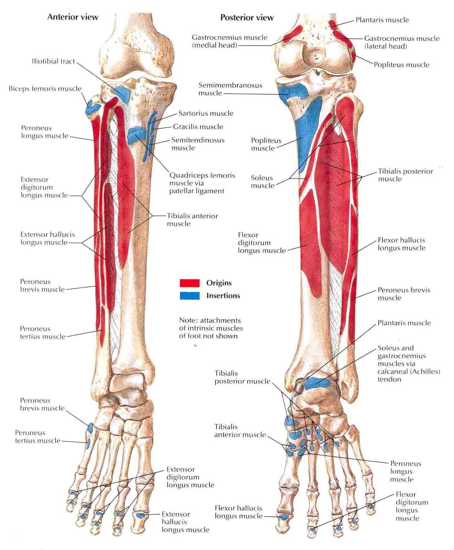 Muscles Origin And Insertion Lower Limb Muscle Origin And Insertion ...