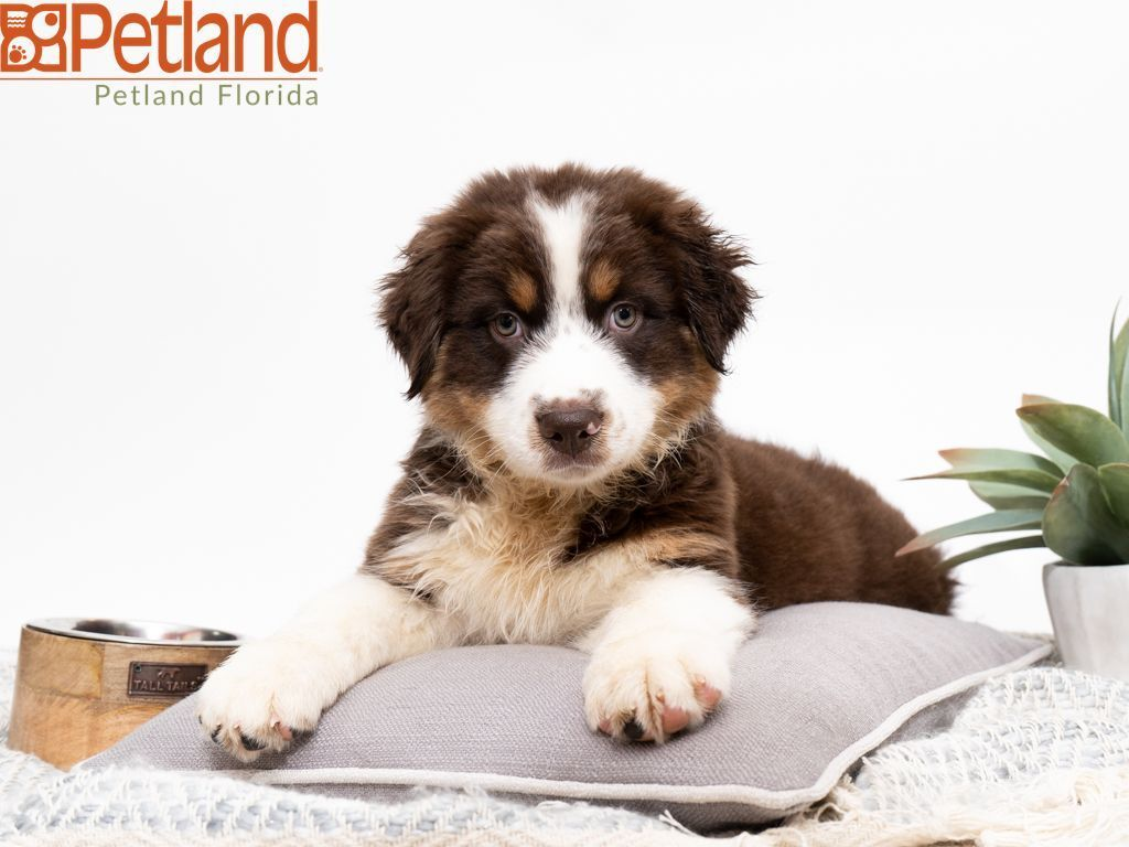 Puppies For Sale Australian Shepherd Puppies Dog Lovers Puppies